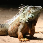 2017Animals___Reptiles_Big_beautiful_iguana_on_the_sand_113496_